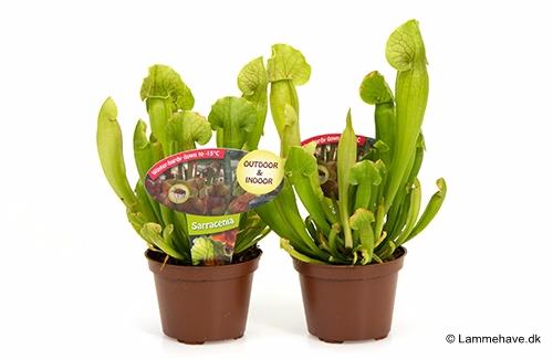Green Hybrid 9 cm (118)