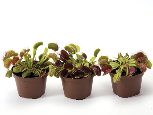 Dionaea muscipula 9 cm (137)