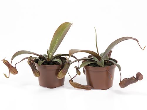Nepenthes Sanguinea hybrid 9 cm (147)