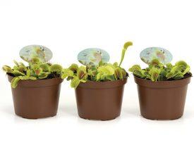 Dionaea muscipula 12 cm (171)
