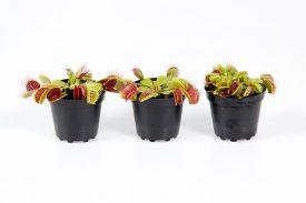 Dionaea muscipula 6 cm (138)