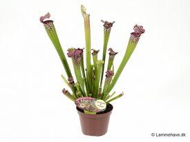 Leucophylla Mississippi 12 cm (156)