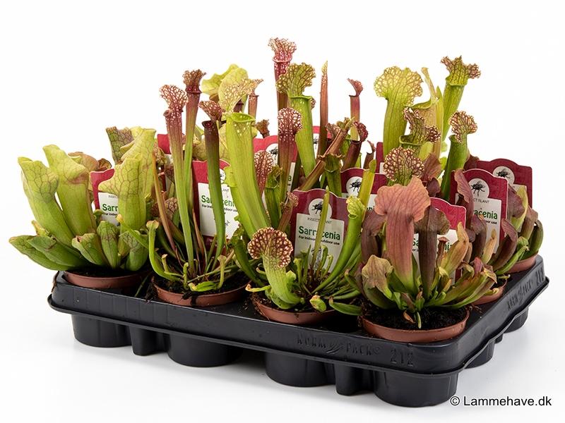 Sarracenia 9 cm mix 2 (120)