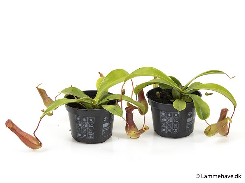 Nepenthes Alata 9 cm (143)
