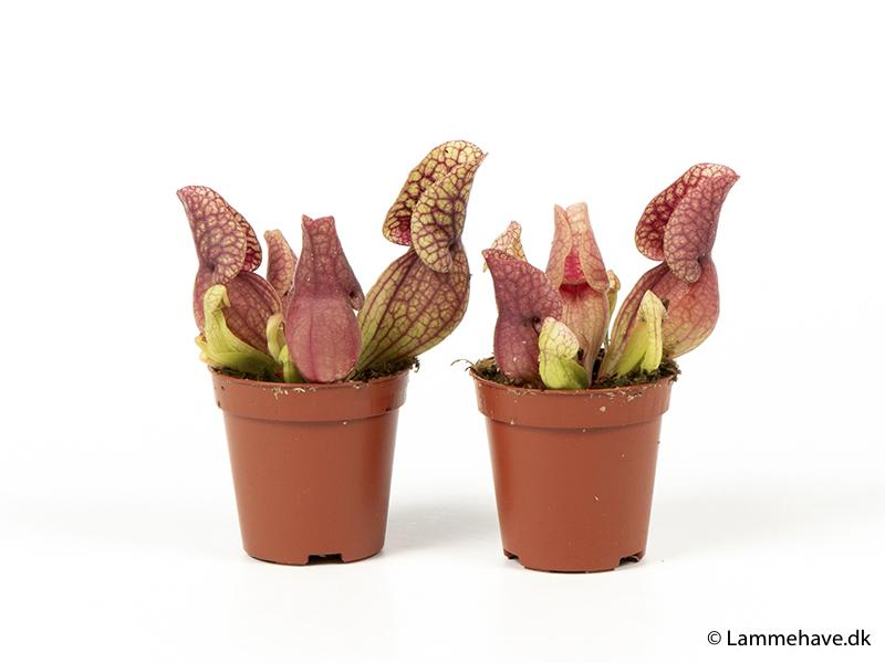 Sarracenia 6 cm (115)