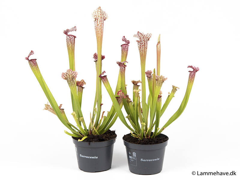 Leucophylla Mississippi 12 cm (157)