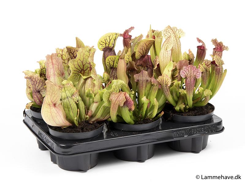Sarracenia 12 cm mix 2 (168)